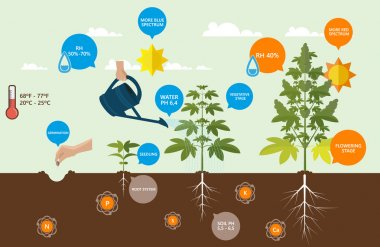 Marijuana growing infographics, guide