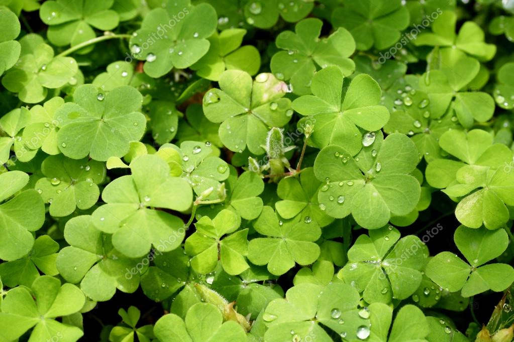 Three Leaf Clovers Stock Photo Infocuss 82685760