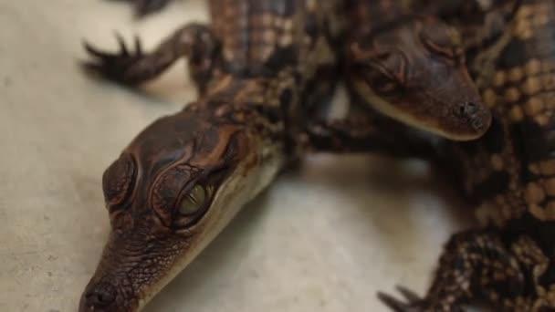 Baby Crocodiles - Various ECUs of baby croc heads