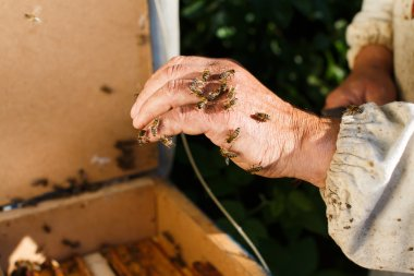 Apiarist holding bees on his hand