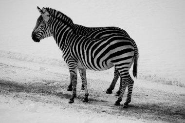 "Картина, постер, плакат, фотообои ""две зебры в снежном зоопарке"", артикул 119266498"