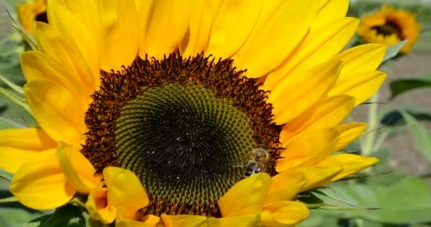 včely na slunečnice
