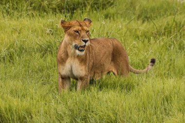 wild lioness with open mouth standing outdoors in natural environment