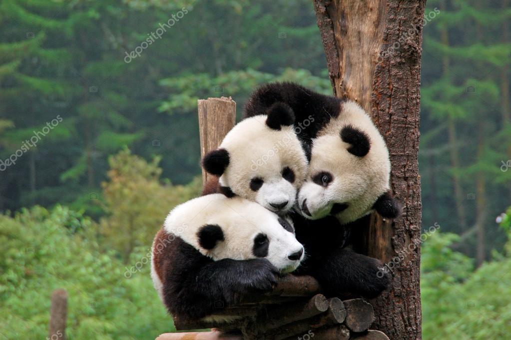 pandas #hashtag