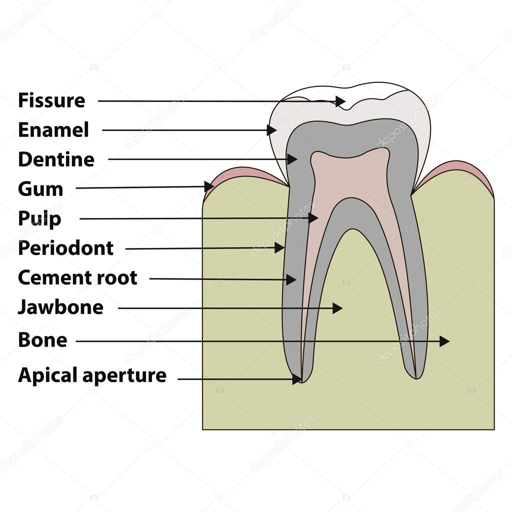 anatomical structure of the tooth fissures, enamel, dentin, gums ...