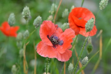 Red poppy flowers and seeding canary grass.