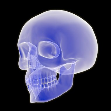 3D Human Skull Three Quarter View