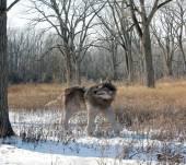 Fényképek Dire Wolf egyedül az erdőben