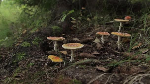 Muchomůrka. Nejedlé houby