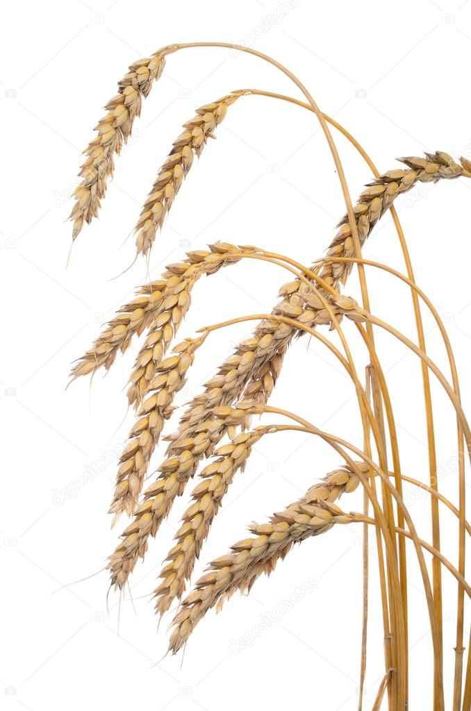 depositphotos_115595616-stock-photo-wheat-ear-isolated-on-white.jpg
