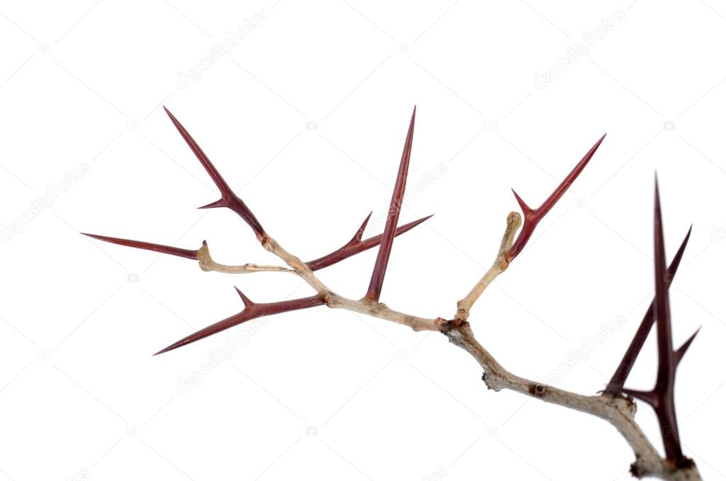 a lot of acacia branches with thorns isolated on white backgroun