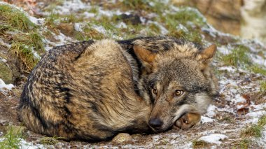 curled up female gray wolf looking scared whats behind