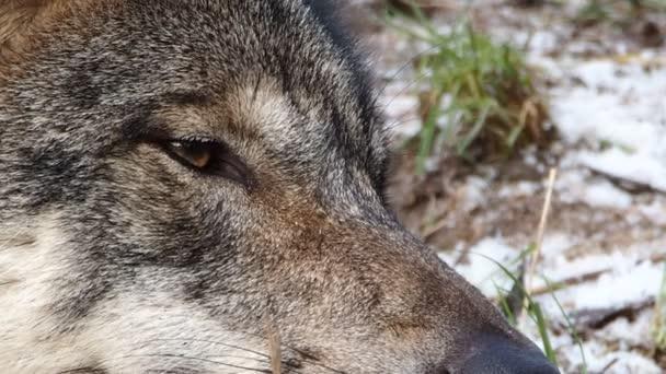 Ospalý ženské skandinávské Vlk
