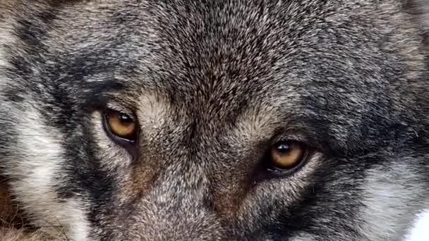 Ospalý ženské skandinávské vlk hledí do kamery