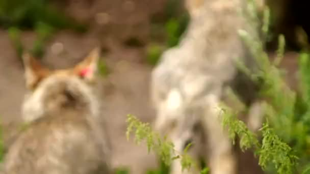 Wolves spitting up (Eurasian gray wolf, Canis lupus lupus)