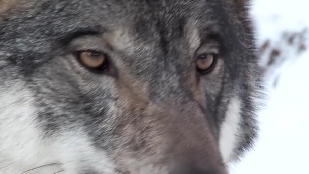 gray wolf face looking around
