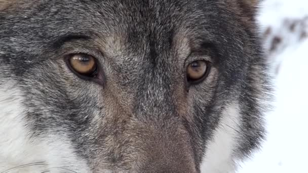 wolf staring intensely