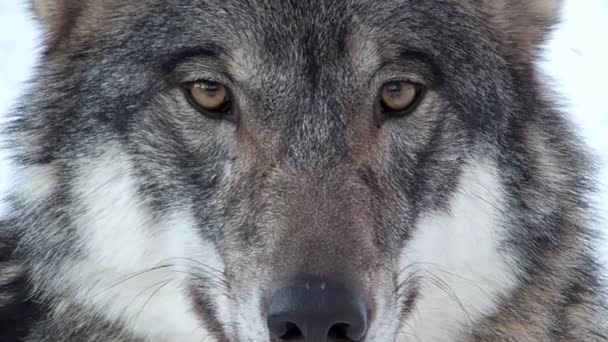 wolf looking into camera
