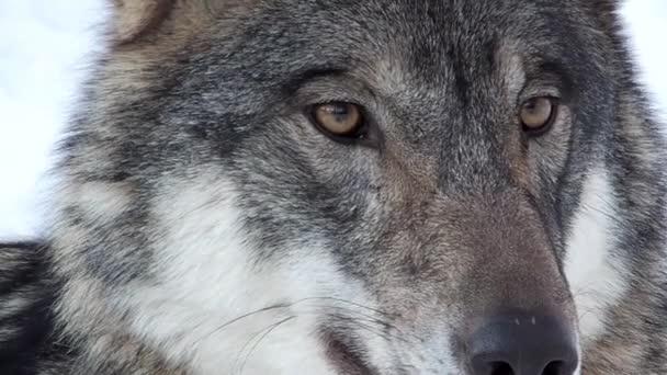 Farkas arc nézett körül