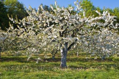 Germany,Bavaria,Blossoming cherry tree