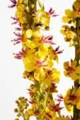 Apró bojtorján, bach virág