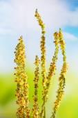 Agrimony, Bach-Blüten