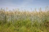 Německo, Severní Porýní-Vestfálsko, obilné pole, pole žita