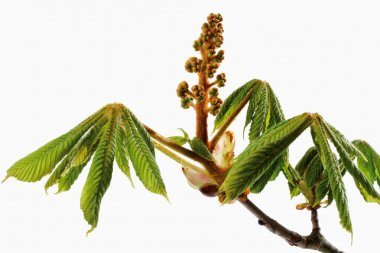 Horse chestnut, twig and blossom buds
