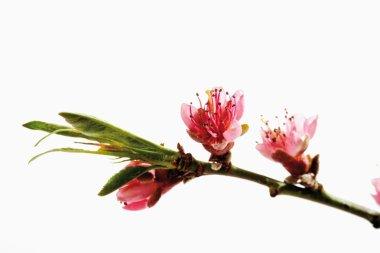 Peach blossom, twig