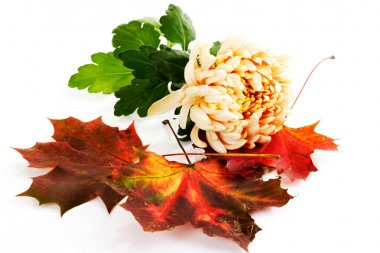 Chrysanthemum and red maple leaves