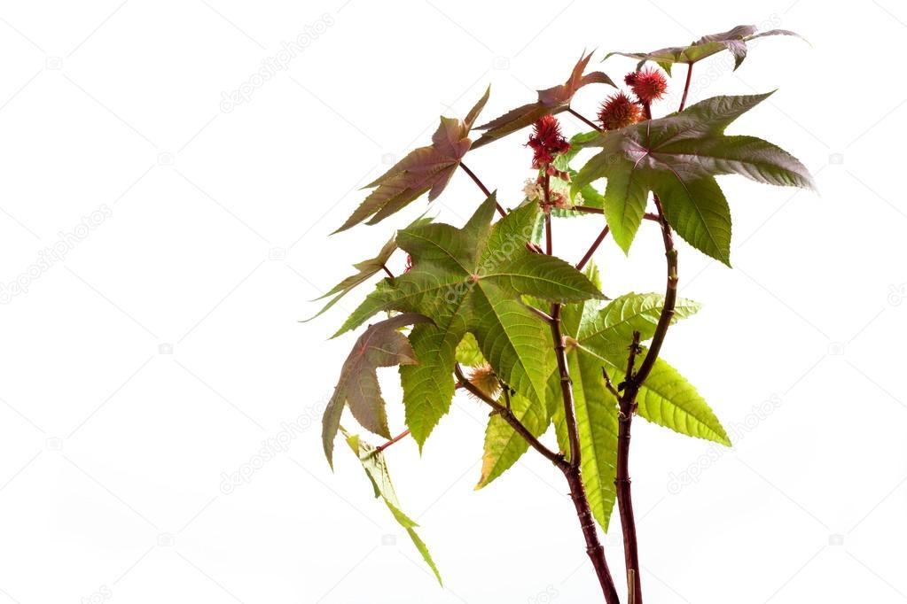 Castor Oil Plant Ricinus Communis Medical Plant Stock Photo C Tunedin61 84989362