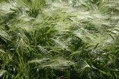 Fotografie Germany, Bavaria, Irschenhausen, Rye field (Secale cereale)