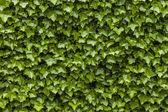 Fotografia muro dedera verde foglie