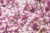 Photo Pink cherry blossoms