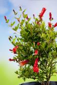 Květu granátového jablka na Bushe