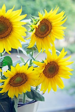 Closeup of sunflowers in a flowerpot