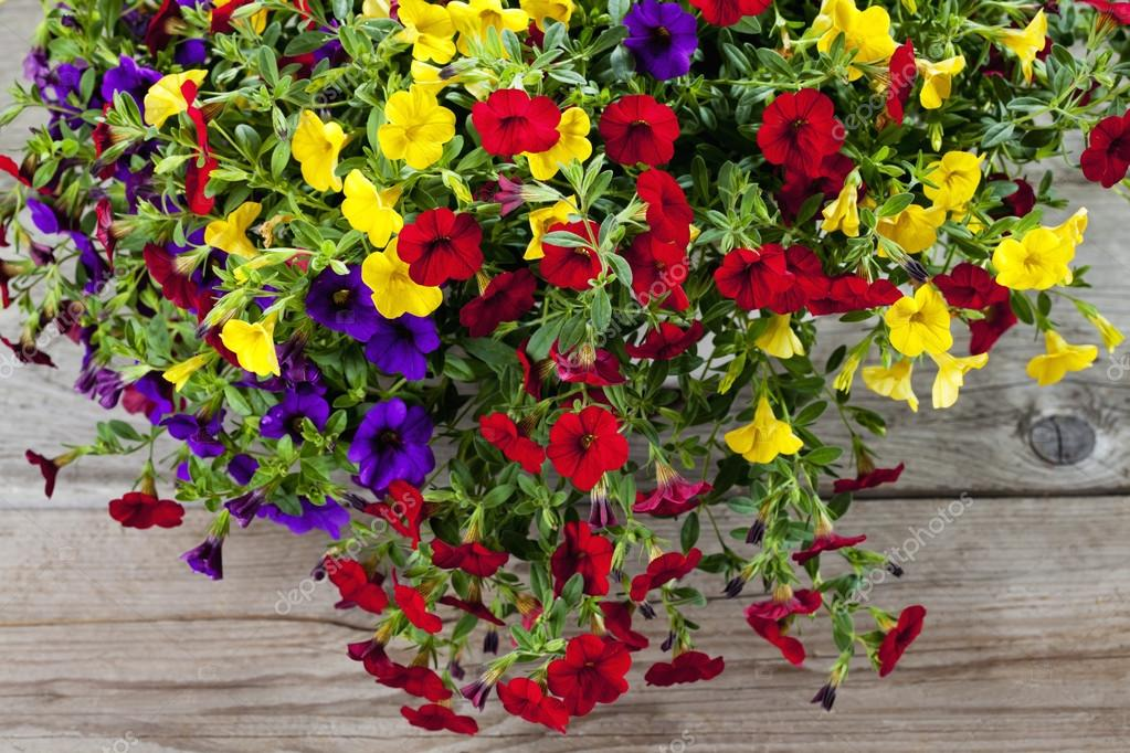 Colorful, variety million bells