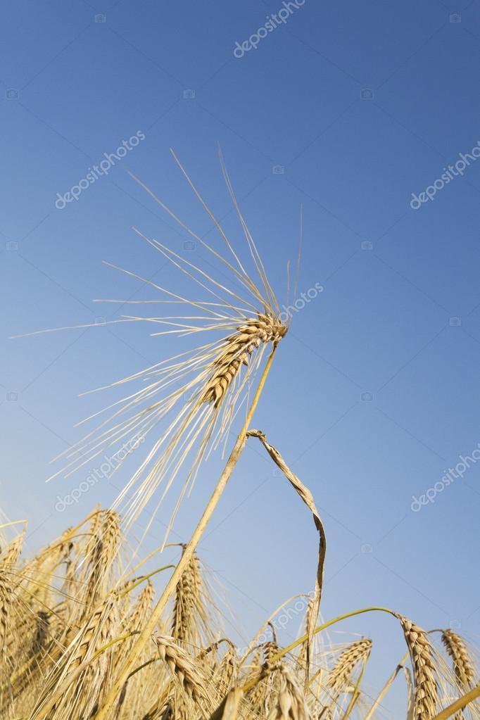 Germany, Rye field, ripe, rye
