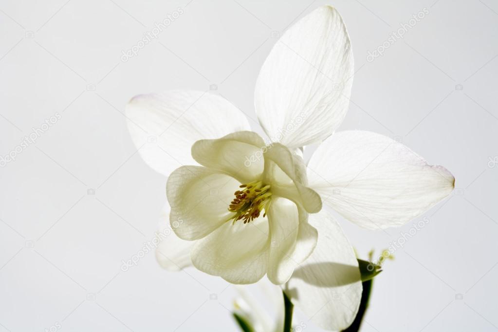 Weiße Akelei, Blüte — Stockfoto © TunedIn61 #88185798