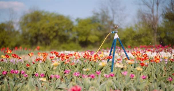 Zemědělství - zavlažovač vody zavlažovací tulipány na květinové plantáži.