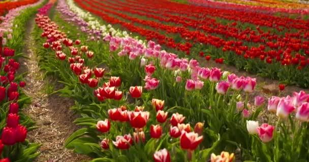 tulipánok a hollandiai agrár-mezőn