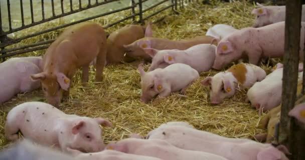 sertéstenyésztés, sertéstenyésztés, állattenyésztés. Modern mezőgazdasági sertéstenyésztő gazdaság