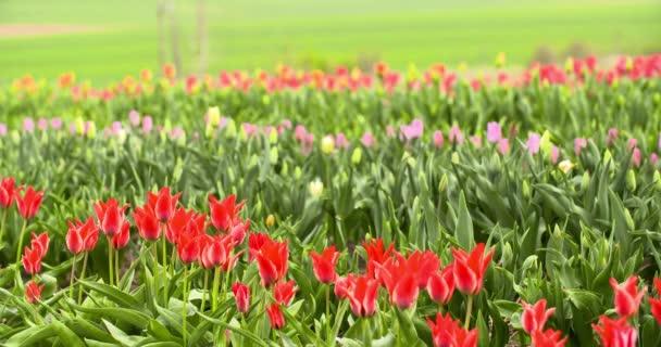 Pěstování tulipánů v Nizozemsku Zemědělství