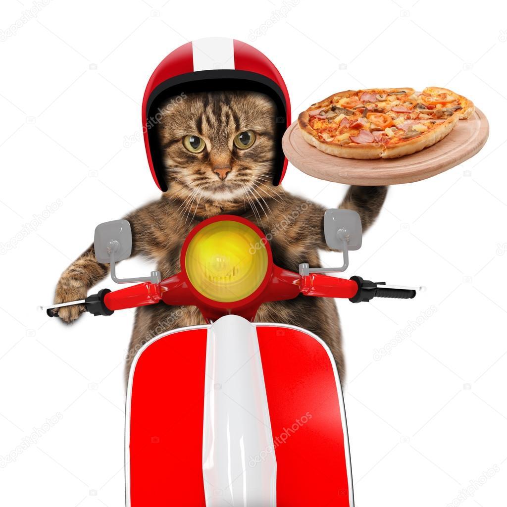Gato gracioso. Entrega de pizza — Fotos de Stock © funny_cats #80418334