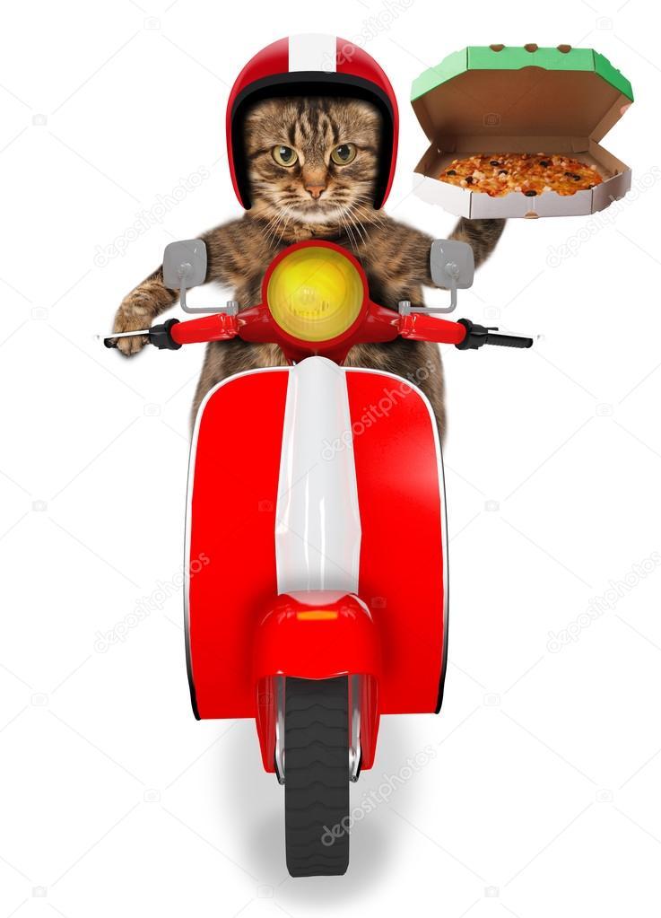 Gato gracioso. Entrega de pizza — Fotos de Stock © funny_cats #80418360