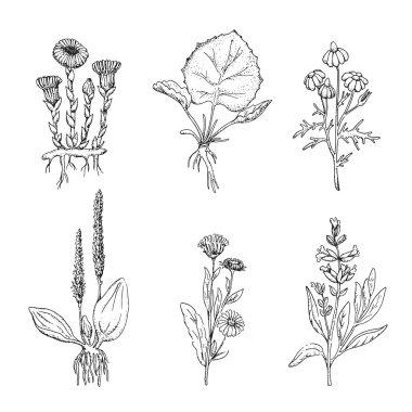 Medicinal herbs. Wild healing flowers