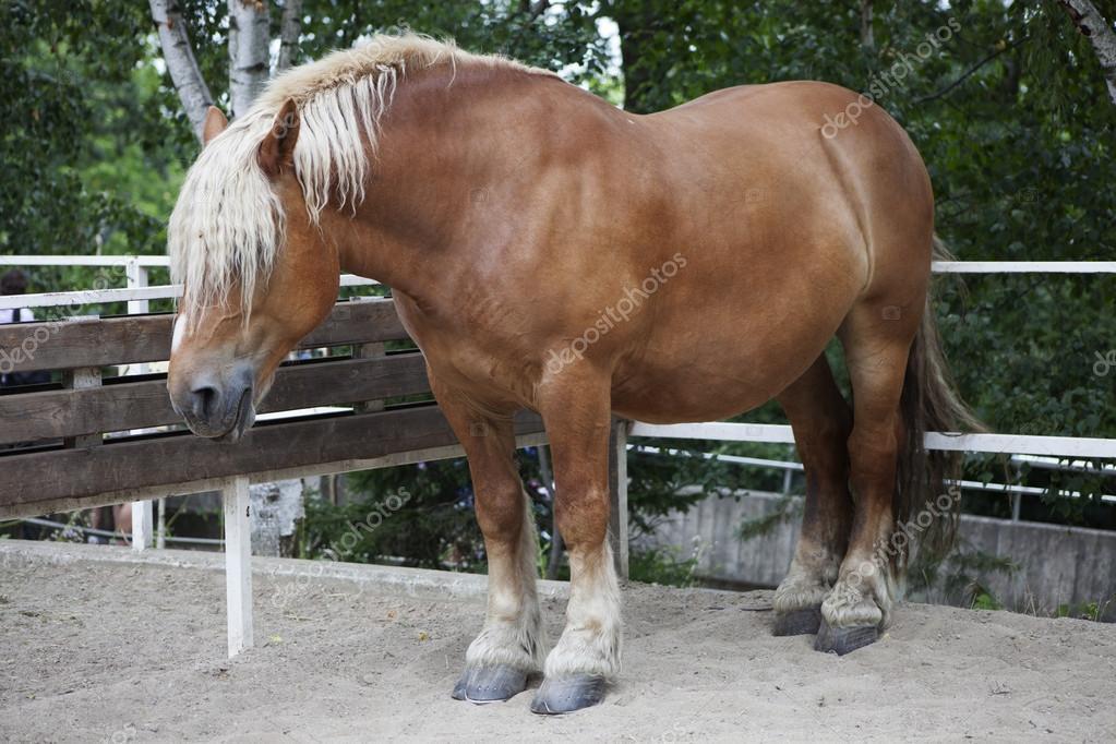 Blond Swedish horse