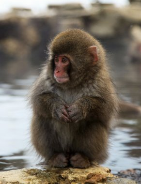 Japanese macaque - snow monkeys - Nagano prefecture, Japan