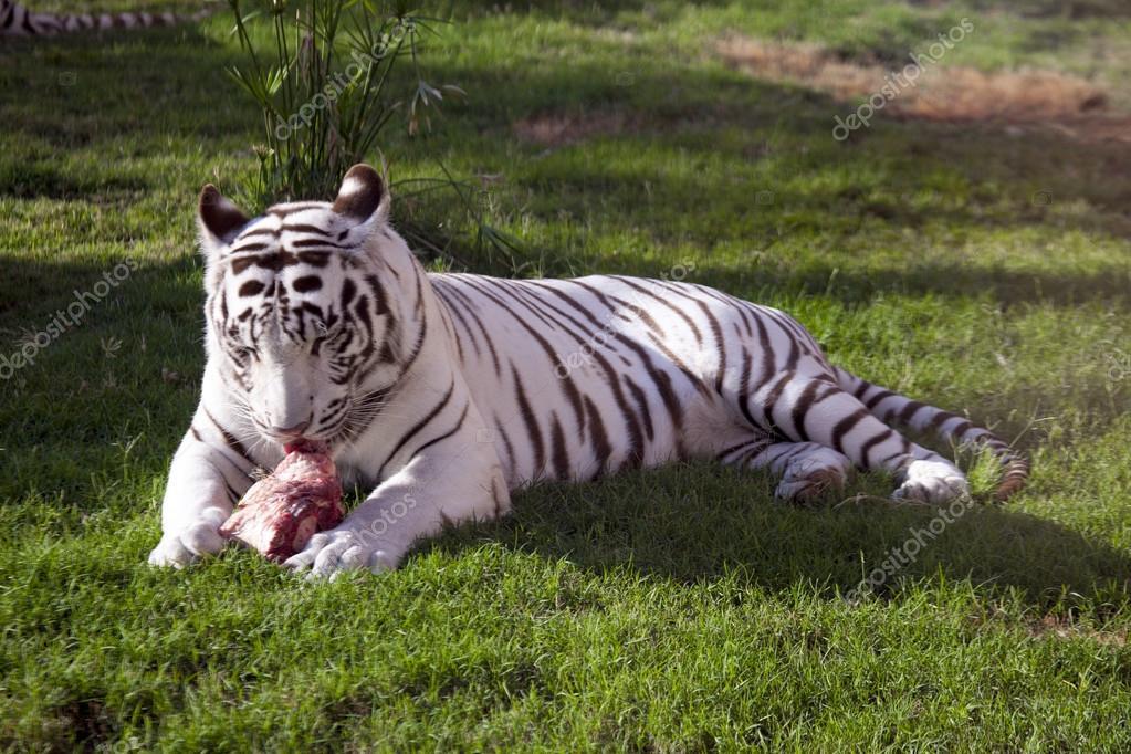White tiger eating fresh meat