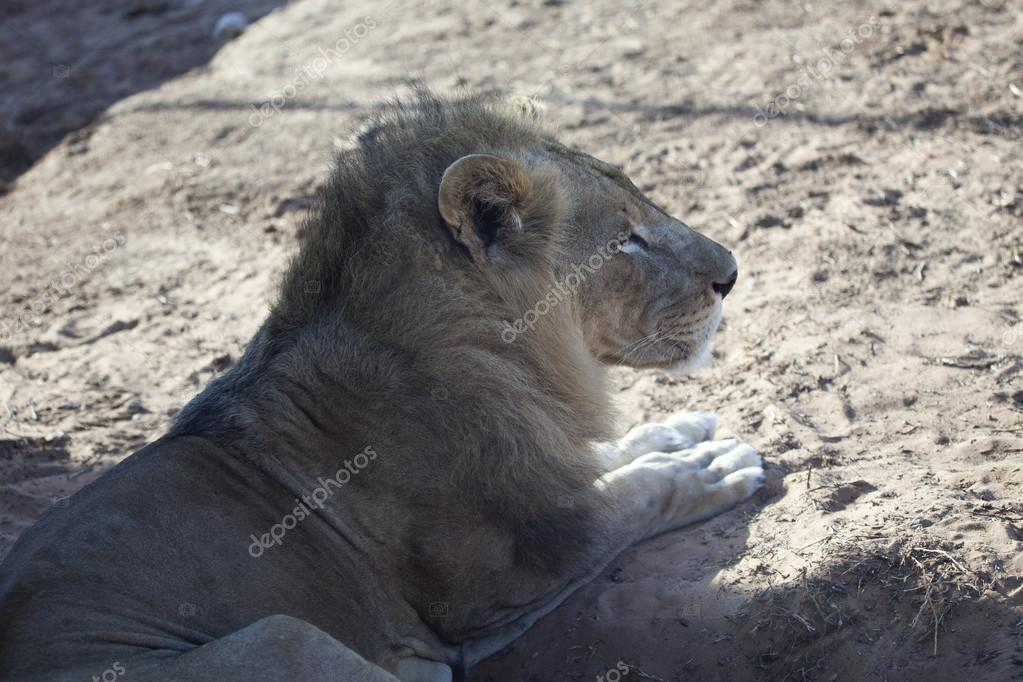 Close side view of a lion resting